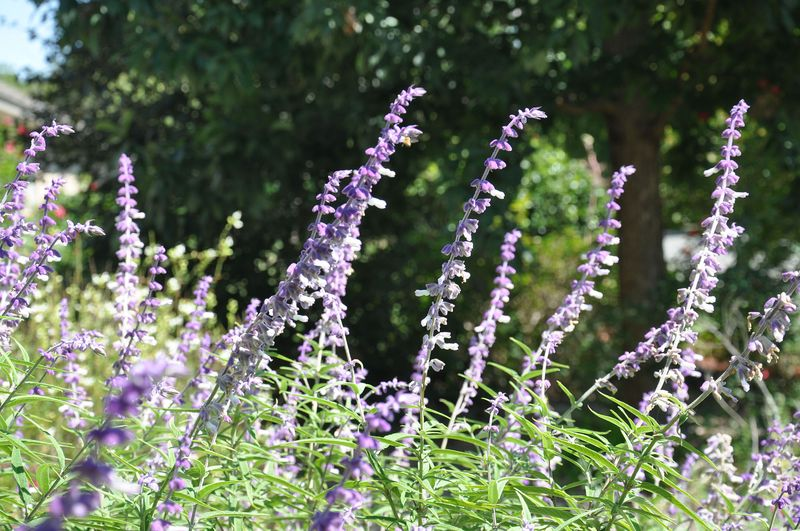 PurpleSalvia-01 copy