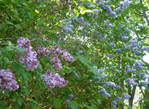 Lilacs-01